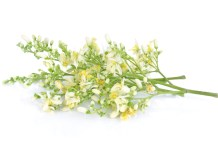 Moringa flower benefits