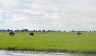 chobe-river-07-buffalo-2