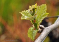 Bud break is a special moment in the spring