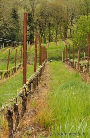 Springtime view down a row of vines