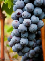 A year's work to ensure the grapes are the best they can be.