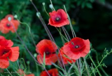 Roadside poppies add a burst of color