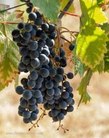 St.Laurent grapes at Mokelumne Glen Vineyards.