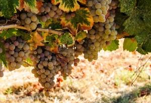 Gewurztraminer grapes at Mokelumne Glen Vineyards