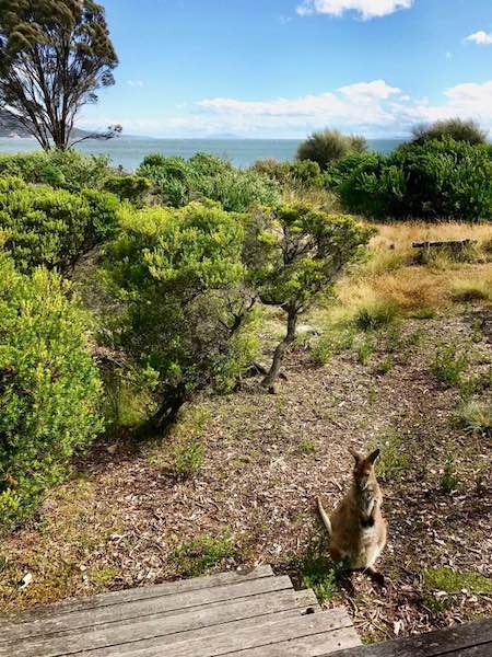 edge of the bay kangaroo wallaby outside the balcony