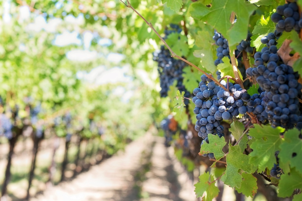 Purple grapes in a vineyard in california wine country | photo by jill111 via pixabay | adventures in wine country on foodwithaview.com
