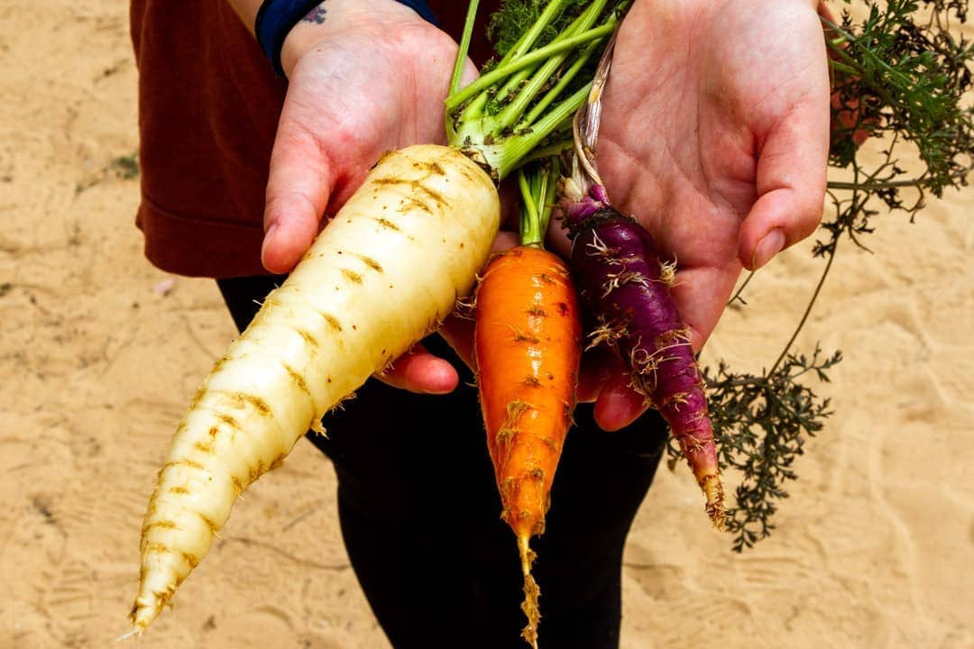 Varieties of carrots fresh from the Israeli ground