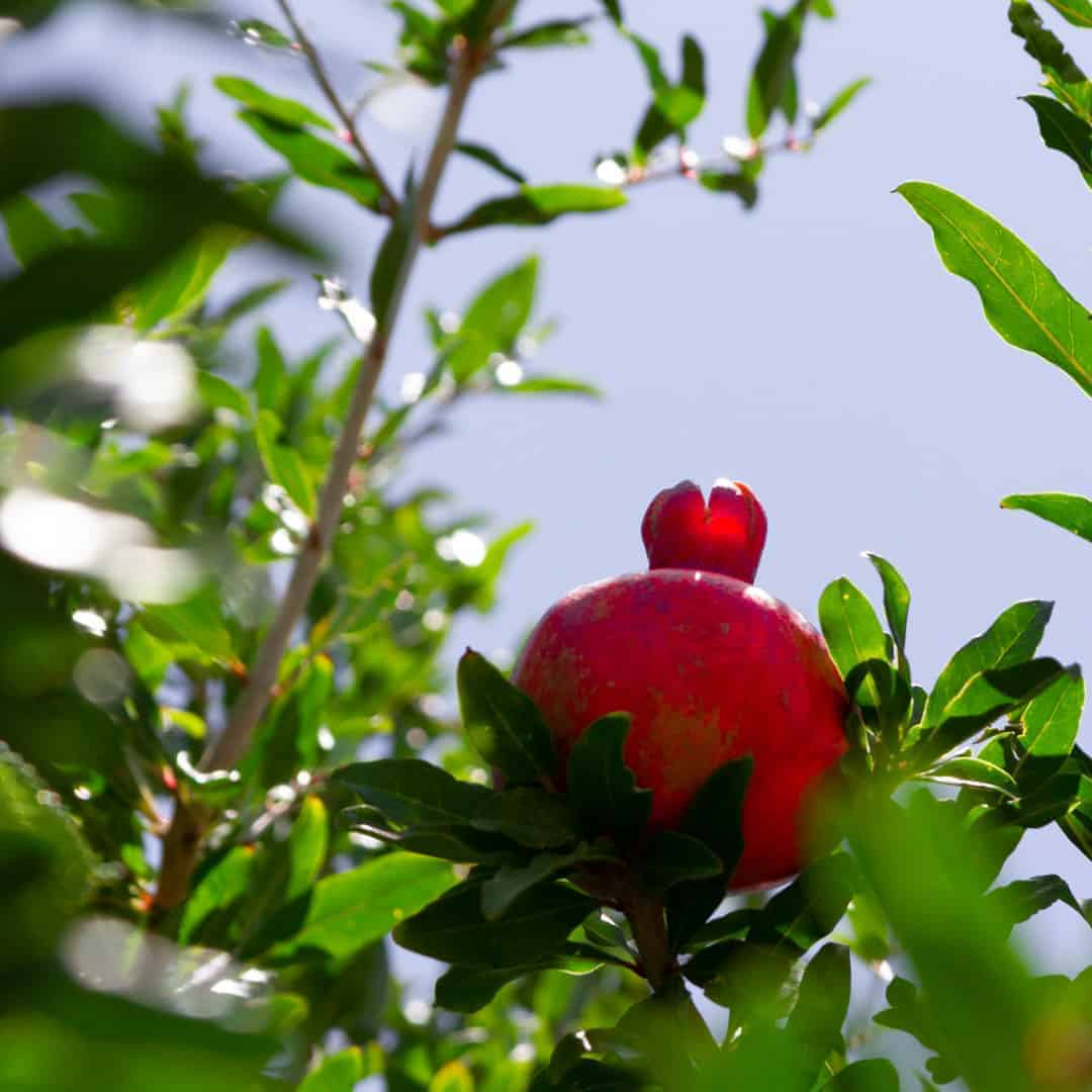 A pomegranate growing on a tree