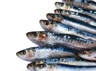Fresh sardines against a white background with copy space.