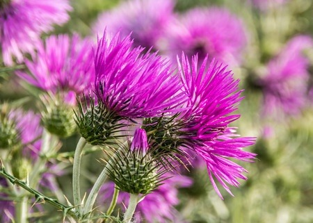 A full picture of the magenta flowers of milk thistle.
