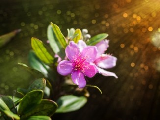 Pink wildflowers, Hill Gooseberry, rose myrtle, downy myrtle (Rhodomyrtus tomentosa)
