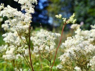 14603726 - meadowsweet or Filipendula ulmaria or Spireaea ulmaria in bloom