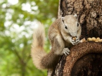 A squirrel on a tree boll eating some nuts.