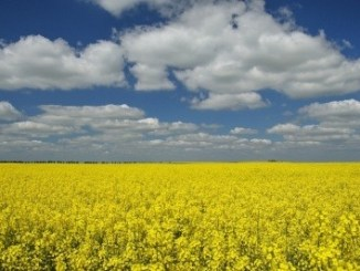 A field of yellow flowering oilseed rape with a cloudy sky above.