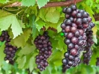 Black grapes hanging dow from the vine.