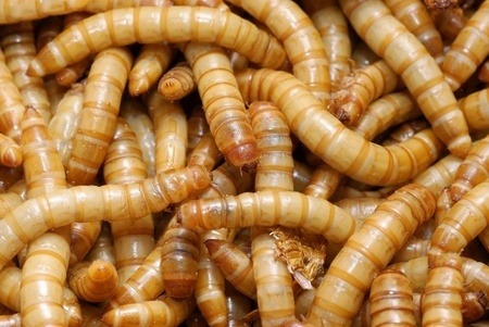Mealworms in full view.