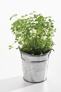 Chervil in plant pot. Copyright: tunedin123 / 123RF Stock Photo