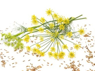 24351022 - flowers and seeds of wild fennel isolated on white background.