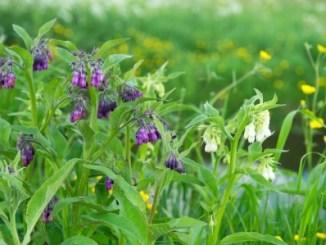 Purple Comfrey - an important herbal medicine growing in a meadow.