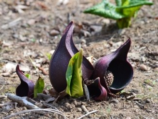 Symplocarpus foetidus (Skunk cabbage)