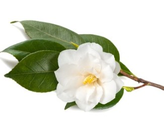 Camellia branch with flower isolated on white background