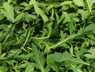Fresh arugula, background from fresh green leaves in close up.