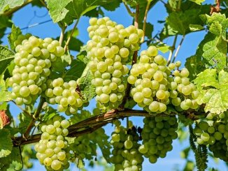 Bunches of grapes, source of grapeseed oil