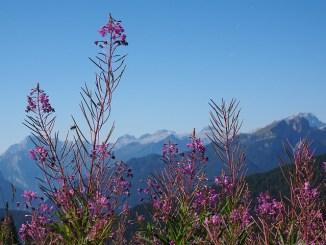Canadian willowherb (Epilobium augustifolium)