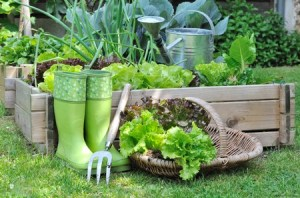 Lettuce in a basket with Wellington boots, a trowel fork and trug for carrying lettuce.