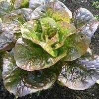 Lettuce variety, Moon Red.