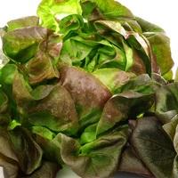 Lettuce variety Sebastiano.