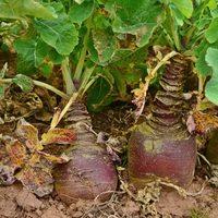 Swede variety Gowrie