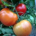 Tomato - variety Alicante