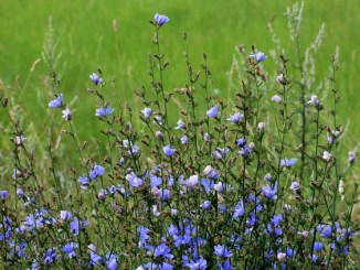 Common chicory in a field. Light blue flowers.