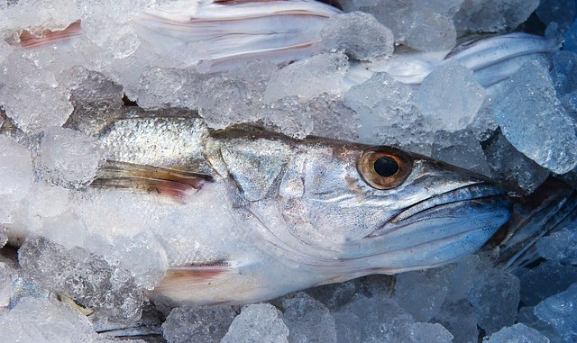 hake frozen in ice and ready for market.
