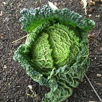 Cabbage (Rigoletto)