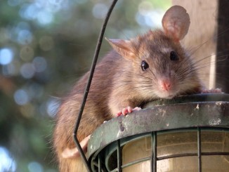 Rats are a real issue in pest control