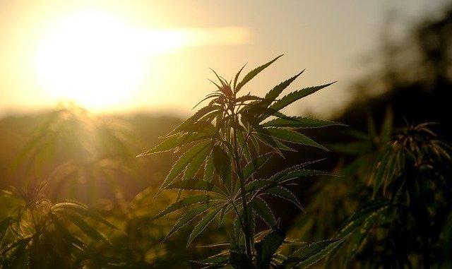 hemp. Canadian Regulations on cannabis.