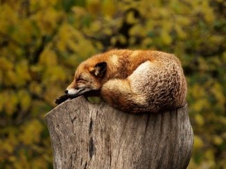 Fox sleeping on a post.