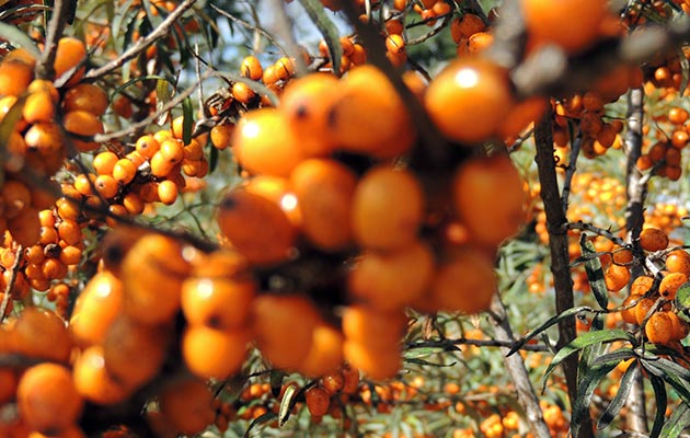 Sea Buckthorn or Sanddorn