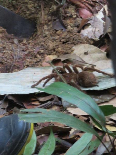 Brazil 539 tarantula