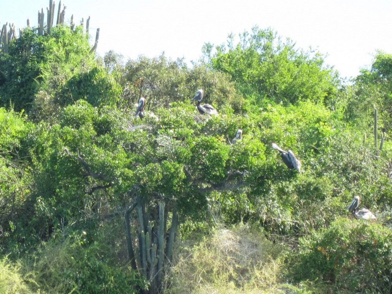 antigua pelicans