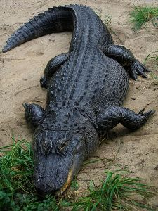 Queens Park Rangers captain Joey Barton shouldn't have tangled with that alligator, says Graham Poll.
