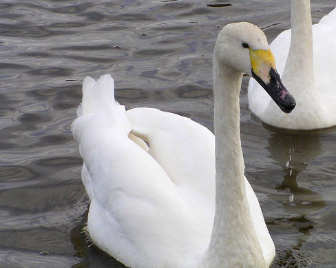 This swan represents Swansea City