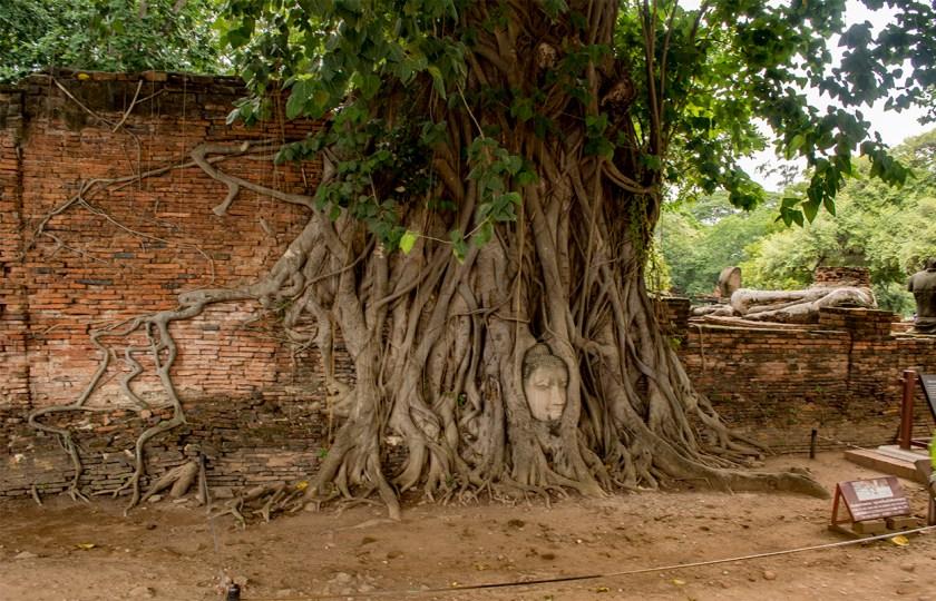 bayutthaya-buddha-tree