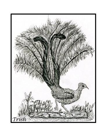 foot drawn Lyrebird.