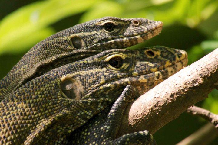 Gambia activities   Snakes & reptiles   lizards
