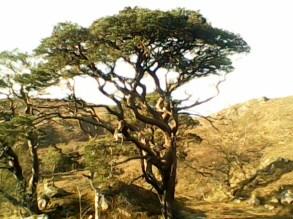 Achnashellach Scots Pine