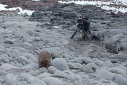 Arctic fox wildlife filming Canon