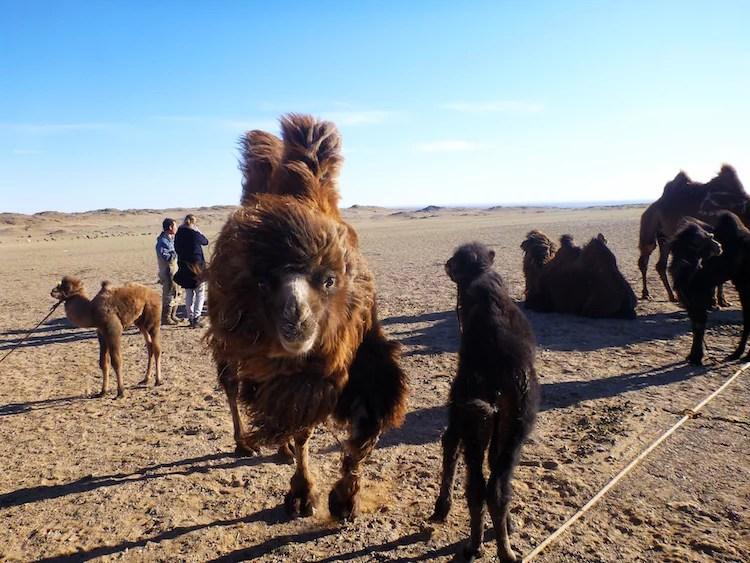 Camelos na Mongólia